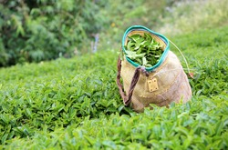 Tea bushes and a traditional basket used by tea-pickers on an upcountry tea estate in north of Thailand
