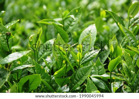 tea contains antioxidans,tea has less caffeine than coffee,tea my help with weight loss and tea makes you happy Stock fotó ©