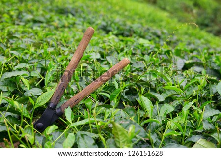 Tea cutting scissors over a bush on tea plantation at Cameron Highlands, Malaysia