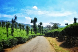 Tea Estate on Nelliyampathy Hill, Palakkad, Kerala, India