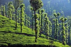 tea estates of wayanad, kerala, india