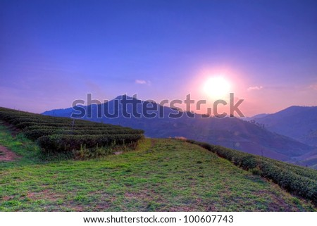 Tea farm and sunset in hdr