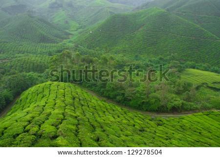 tea farm at Pahang, Malaysia