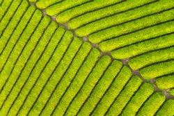 tea farm closeup, green tea plantation background