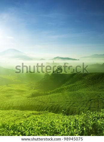 Tea Farm landscape in Cameron Highland, Malaysia. - stock photo