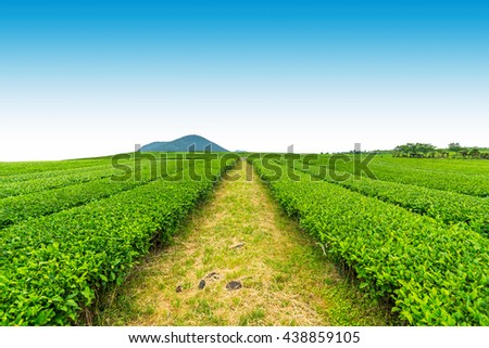 Tea Farm ,Tea Plantation in Jeju Island