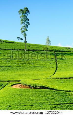 Tea field in Nuwara Eliya, Sri Lanka. Ceylon tea.