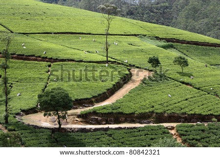 tea field in sri lanka
