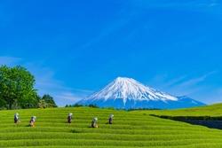Tea fields in Oobuchi sasaba, Fuji City, Shizuoka Prefecture. Translation text: