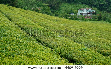 Tea fields in the slopes of the slopes #1440919229
