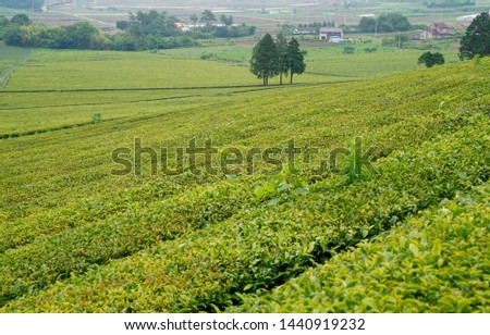 Tea fields in the slopes of the slopes #1440919232