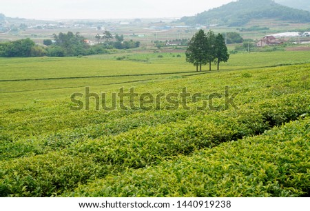 Tea fields in the slopes of the slopes #1440919238