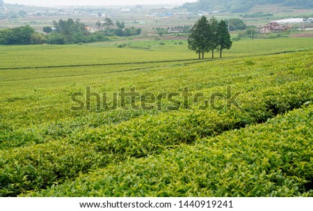 Tea fields in the slopes of the slopes #1440919241