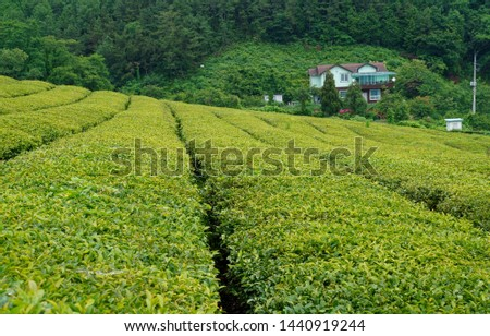 Tea fields in the slopes of the slopes #1440919244