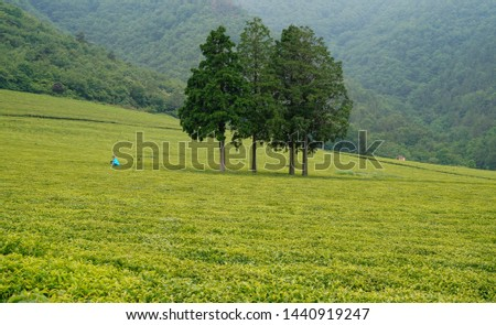 Tea fields in the slopes of the slopes #1440919247