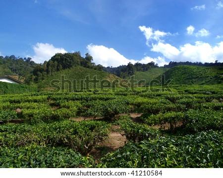 tea garden in cameron higland, malaysia 06