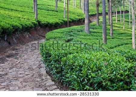 Tea Garden Path in Tamil Nadu
