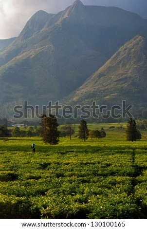 Tea grows in the fields at the base of a mountain in Malawi
