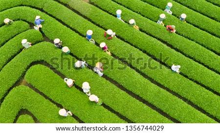 Tea harvest season at the Moc Chau plateau, Son La, Vietnam. Zdjęcia stock ©