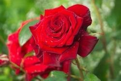 Tea hybrid roses.