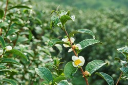 Tea leaf and white flower in tea plantation. Flower of tea on trunk. Beautiful and fresh white tea flower in Thailand.