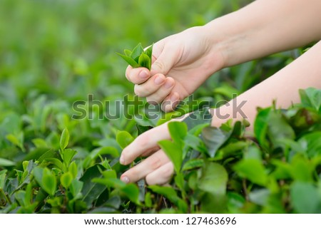 Tea leaf in his hand . Photo close-up of the hands and tea leaf
