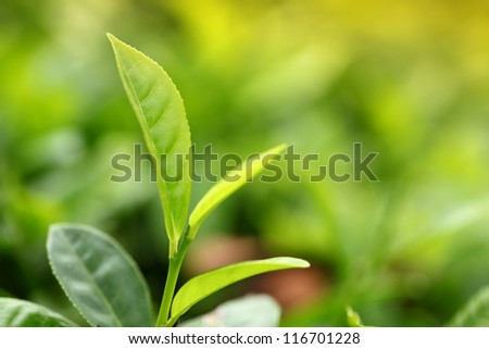 Tea Leaf with Plantation in the Background