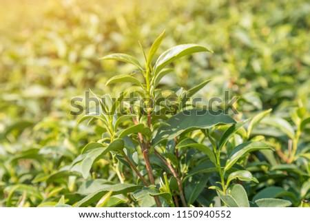 Tea leave in plantation close-up
