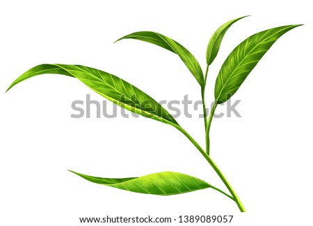 Tea leaves on white background . Gives a refreshing feeling and comfortable . Create from digital painting and add full detail of leaf . To achieve perfection as customers want .