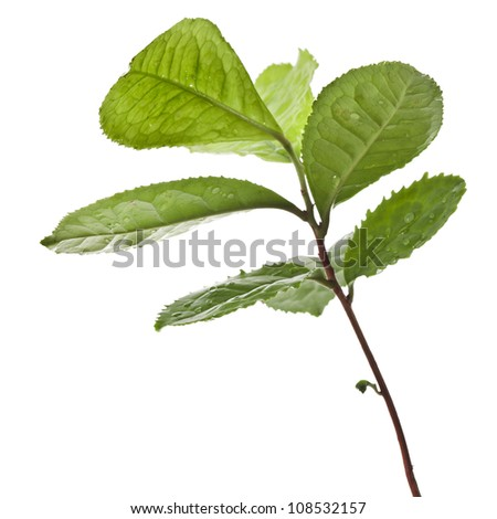 Tea Leaves Plant isolated on a white background