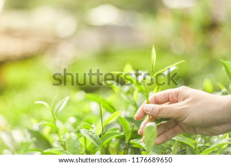 Tea leaves The view of a woman holding a tea leaf   #1176689650