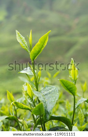 Tea leaves with plantation in the background