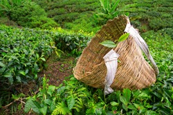 Tea picker bag with fresh leaf over a bush on tea plantation at Cameron Highlands, Malaysia