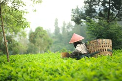 Tea pickers wearing caping are picking tea leaves