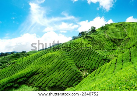 Tea Plantation and blue sky with cloud in Cameron Highland