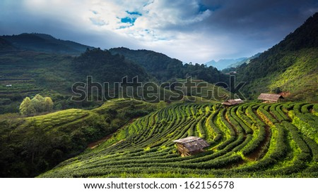 Tea plantation at Doi Ang Khang, Chiang Mai, Thailand