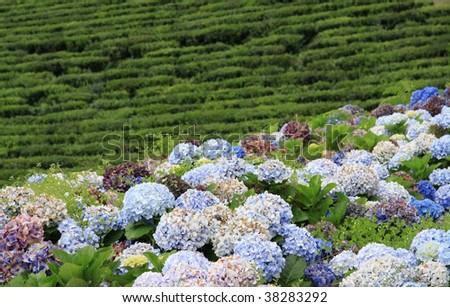 tea plantation at Sao Miguel (Acores) 02