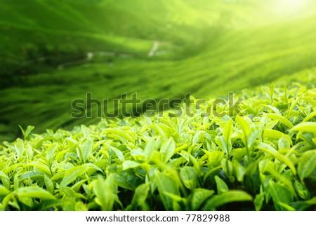 Tea plantation Cameron highlands, Malaysia (shallow DOF) - stock photo