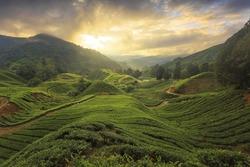 Tea plantation Cameron highlands, Malaysia with harsh light morning