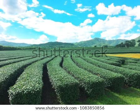 Tea Plantation , Chaingrai , Thailand , Asia #1083850856