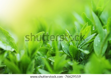 Tea plantation close up background after the rain