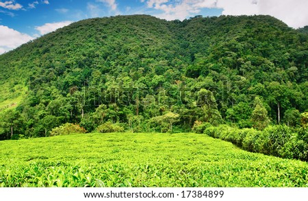 Tea plantation in Bwindi national park, Uganda