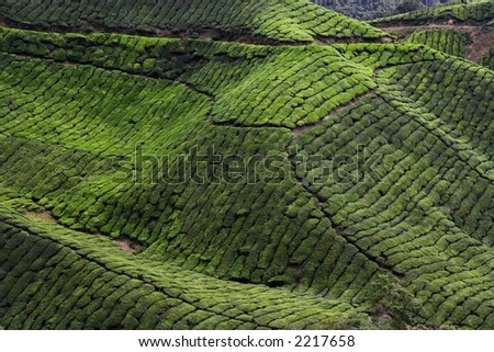 Tea plantation in Cameraon Highland at Malaysia.