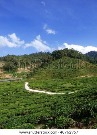 tea plantation in cameron highland,malaysia 06