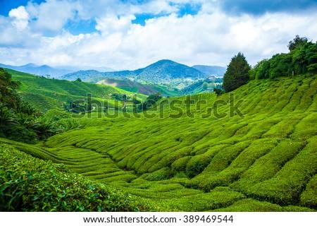 tea plantation in cameron...