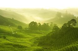 Tea plantation in  morning view, cameron highland malaysia