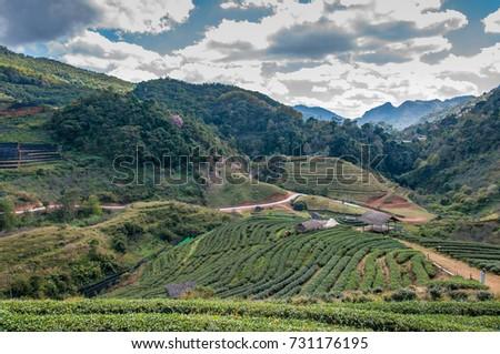 Tea plantation in mountain view.