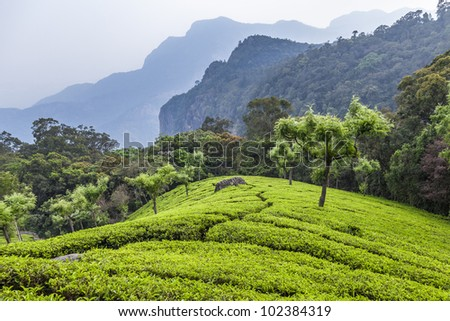 tea plantation in Munnar highlands, India