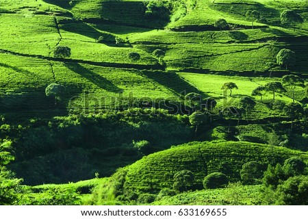 Tea plantation in Pangalengan captured from high angle after sunrise time forming  soothingly green  patterns and shadows of higher trees /Tea Plantation/Tea plantation spreads like green velvet.