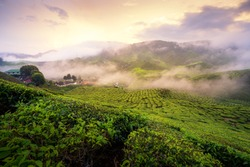 Tea plantation in the mountains during sunrise in Cameron highlands, Malaysia with harsh light morning. Malaysia tourism, nature life, or landscape most visited tourist attractions concept.